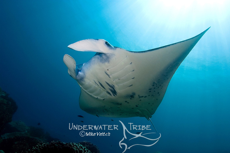 Manta ray, Manta birostris, Valley of the Rays, Goofnuw Channel, Yap, Federated States of Micronesia, Pacific Ocean