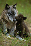 Grey wolf and pup, Montana