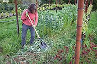 chopping up, turning in faba or lava bean, bell bean, green manure cover crop into soil of sustainable garden