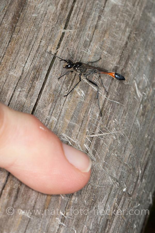 Gemeine Sandwespe, Männchen, Ammophila sabulosa, Red-banded Sand Wasp, sand digger wasp, male, Grabwespe