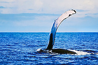 humpback whale, Megaptera novaeangliae, pec slapping or flippering, Hawaii, USA, Pacific Ocean