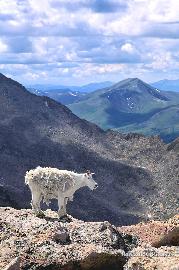 Mountain goat near summit of Mt. Evans, Colorado