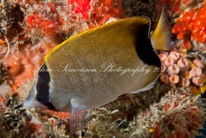 Reef Butterflyfish, Chaetodon sedentarius<br /> U.S. Virgin Islands