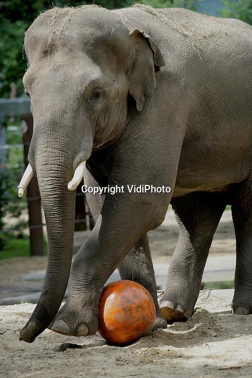 Foto: VidiPhoto..AMERSFOORT - In Dierenpark Amersfoort werden de olifanten vrijdagmiddag verrast met een bijzondere activiteit. Ze mochten zich vermaken met een enorme oranje rubberen bal; een knipoog van het park naar het WK-voetbal. De olifanten vermaakten zich uitstekend en lieten allerlei technische hoogstandjes zien..