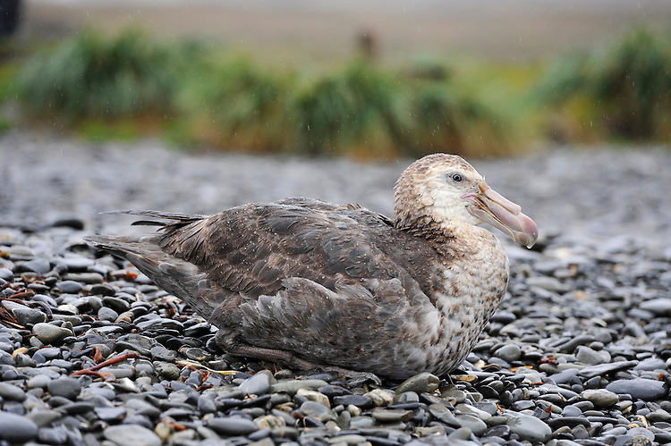 Southern Giant Petrel (Macronectes giganteus), sitting on the beack at Jason harbour in the rain, South Georgia