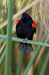 Red-winged Blackbird, Male Perched on a Reed, Bolsa Chica Wildlife Refuge, Southern California