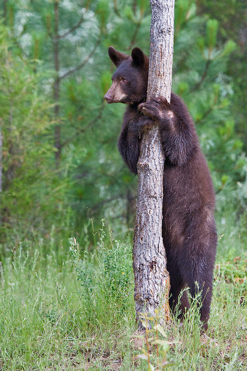 Black Bear (Ursus americanus) standing and leaning against a tree near Kalispell, Montana, USA - Captive Animal
