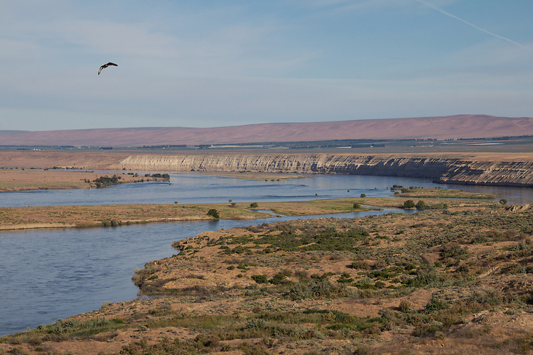 Hanford Reach National Monument, Red-Tailed hawk, Buteo jamaicensis, White Bluffs, Wahluke Slope, Columbia River, Columbia Basin, Eastern Washington, Washington State, Pacific Northwest, USA, North America,