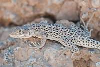 Long-nosed leopard lizard, Gambelia wislizenii, in Saline Valley, Death Valley National Park, California