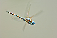 Male Blue-eyed Darner (Aeshna multicolor) flying over pond.  Pacific Northwest.  Summer.