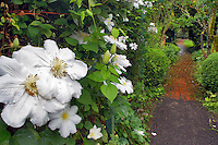 White Clematis flower and path. Deepwood Estates. Salem. Oregon