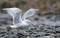 A Glaucous gull is one of many gull species found on Canada's Pacific coast.