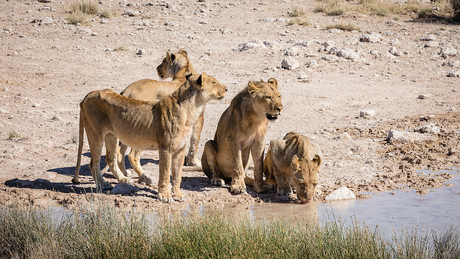 Lions Seemingly Considering Options After A Drink.