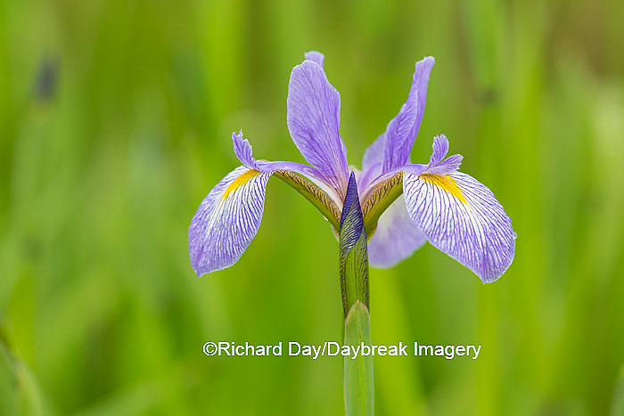 63899-05305 Blue Flag Iris (Iris versicolor) in wetland, Marion Co., IL