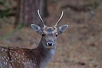 Damwild, Damhirsch, Männchen, Geweih im 1. Jahr, Dama dama, Fallow deer, Daim
