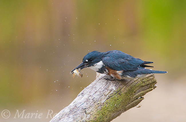 Belted Kingfisher (Ceryle alcyon) female processing a fish (Round Goby) by striking it on perch causing water droplets to fly, Lansing, New York, USA