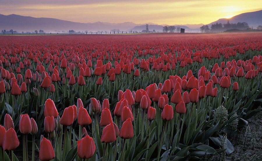 Rows of red tulips in blossom at sunrise, Mount Vernon, Skagit Valley, Washington