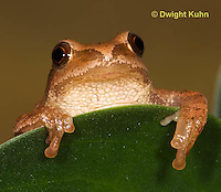 FR16-572z  Spring Peeper close-up of face, Hyla crucifer or Pseudacris crucifer