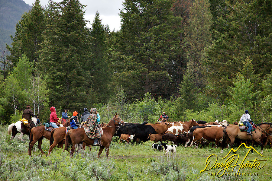Nelson Cattle Drive, Alpine Wyoming. June is the time many ranchers move their cattle to the mountains so they can grow hay on their property so the cows will have something to eat when they come out of the mountains for the winter...<br />