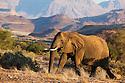 Namibia;  Namib Desert, Skeleton Coast, Huab River, desert elephant (Loxodonta africana) walking in mountains