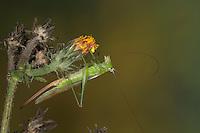 Langflüglige Schwertschrecke, Langflügelige Schwertschrecke, Weibchen, Conocephalus fuscus, Conocephalus discolor, Xiphidium fuscum, Long-winged conehead, female