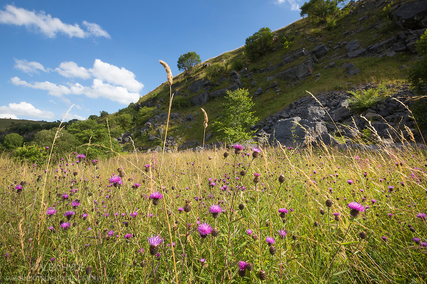 Common / Black Knapweed {Centaurea nigra} growing in disused limestone quarry. Peak District National Park, Derbyshire, UK. August.