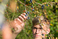 Schlehenernte, Schlehen-Ernte, Ernte von Schlehenfrüchten, Frucht, Früchte, Schlehenbeeren, Schlehe, Gewöhnliche Schlehe, Schwarzdorn, Prunus spinosa, Blackthorn, Sloe, fruit, Epine noire, Prunellier