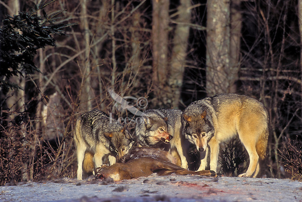 Gray wolf or timber wolves (Canis lupus) feeding on white-tailed deer. Winter. Canada.