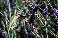 A female Anna's hummingbird approaching a lavendar flower has its wings and tail spread.
