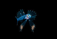 Snaketooth fish or Swallower, Chiasmodontidae, a deep-sea percomorph fish, photographed at 30 foot depth with the bottom more than 600 feet below during a blackwater dive.  Palm Beach, Florida, USA, Atlantic Ocean