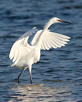 Adult white morph reddish egret chasing fish. Only 8-10% of reddish egrets are of the white morph.
