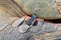 metal identification tag is attached to flipper of nesting Kemp's ridley sea turtle, Lepidochelys kempii ( endangered ), Rancho Nuevo, Mexico ( Gulf of Mexico ), Atlantic Ocean