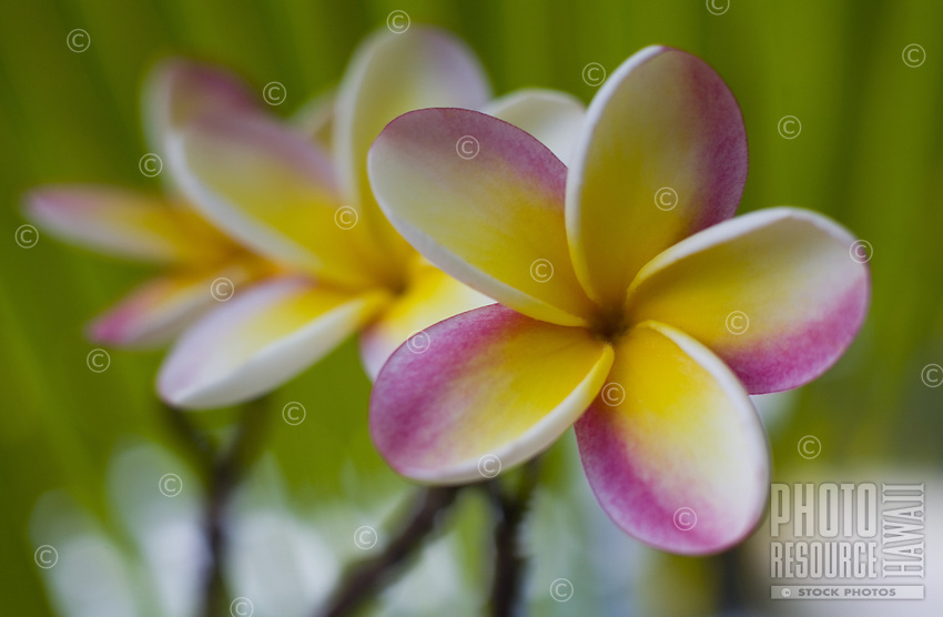 """Plumeria flowers, a fragrant blossom deeply tied to Hawaii and its culture, also called """"""""frangipani"""
