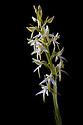 Lesser butterfly orchid (Platanthera bifolia) flower spike. Isle of Mull, Scotland. June.