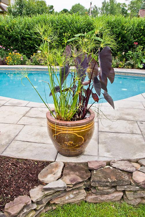 Tropical container garden in large planter as focal point on swimming pool surround patio. Elephant's ears in purple foliage - Colocasia with Papyrus make for exotic looking plants.
