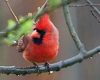 Cardinal, April 22, 2011
