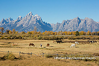 67545-09603 Horses and Grand Teton Mountain Range in fall, Grand Teton National Park, WY