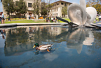 Two ducks swim next to the Lucille Y. Gilman Memorial Fountain (Water Forms II) on April 18, 2014. (Photo by Marc Campos, Occidental College Photographer)