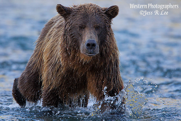 A photo of a brown bear boar walking in the water.