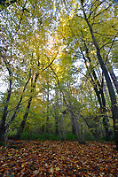 Autumn Woodland, Stoke Wood, Oxfordshire.