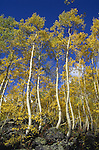 Aspen trees during the peak of the fall season near Aspen, Colorado. © Michael Brands.