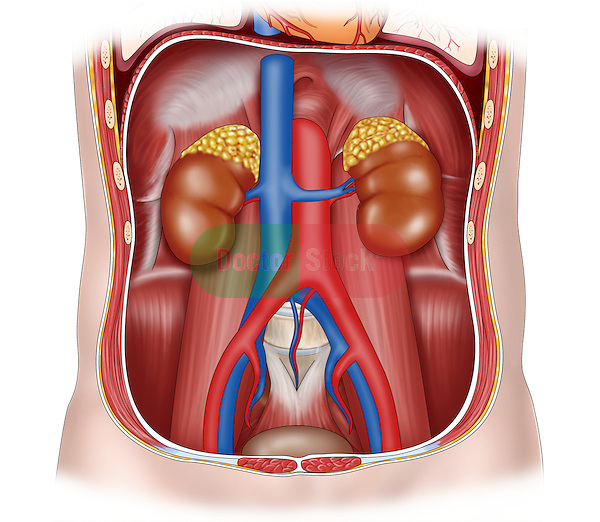 pelvis, abdomen