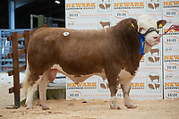 English Premier Show & Sale March 2019 <br /> Newark Livestock Market. <br /> Lot 9 Heathbrow Infamous owned by D A & L A Sapsed sold for 2800gns<br /> ©Tim Scrivener Photographer 07850 303986<br />      ....Covering Agriculture In The UK....