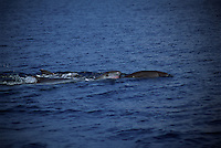 Shy and elusive there are few images of pygmy sperm whales, Kogia breviceps, in the wild.  Indonesia.