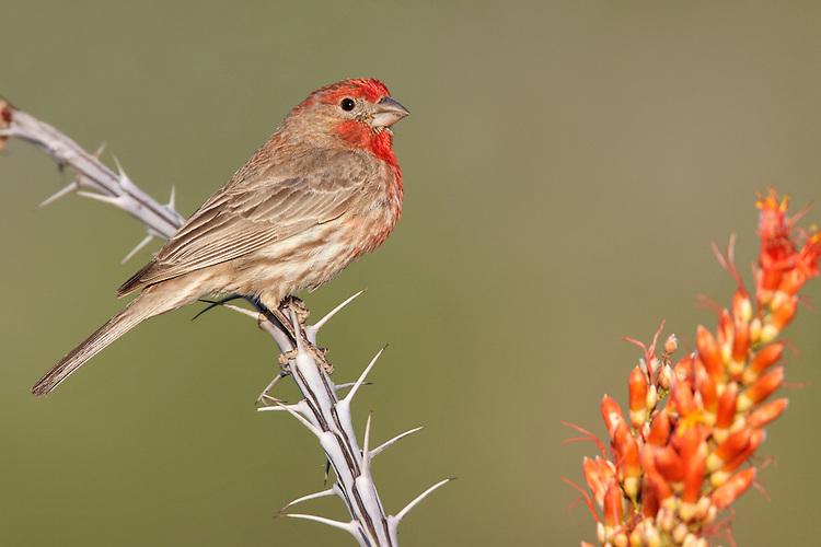 House Finch - Carpodacus mexicanus - male