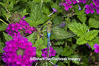 06361-006.12 Common Green Darner (Anax junius) male on Homestead Purple Verbena (Verbena canadensis) Marion Co.  IL