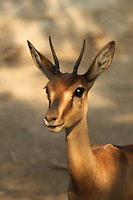 Portrait of an innocent looking small young horn deer with sparkling beautiful black eyes