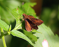Fawn-spotted skipper