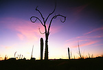 Boojum tree at sunset, Catavina Desert, Baja California, Mexico