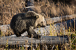 Grizzly bear cub on log. Yellowstone National Park, Wyoming.